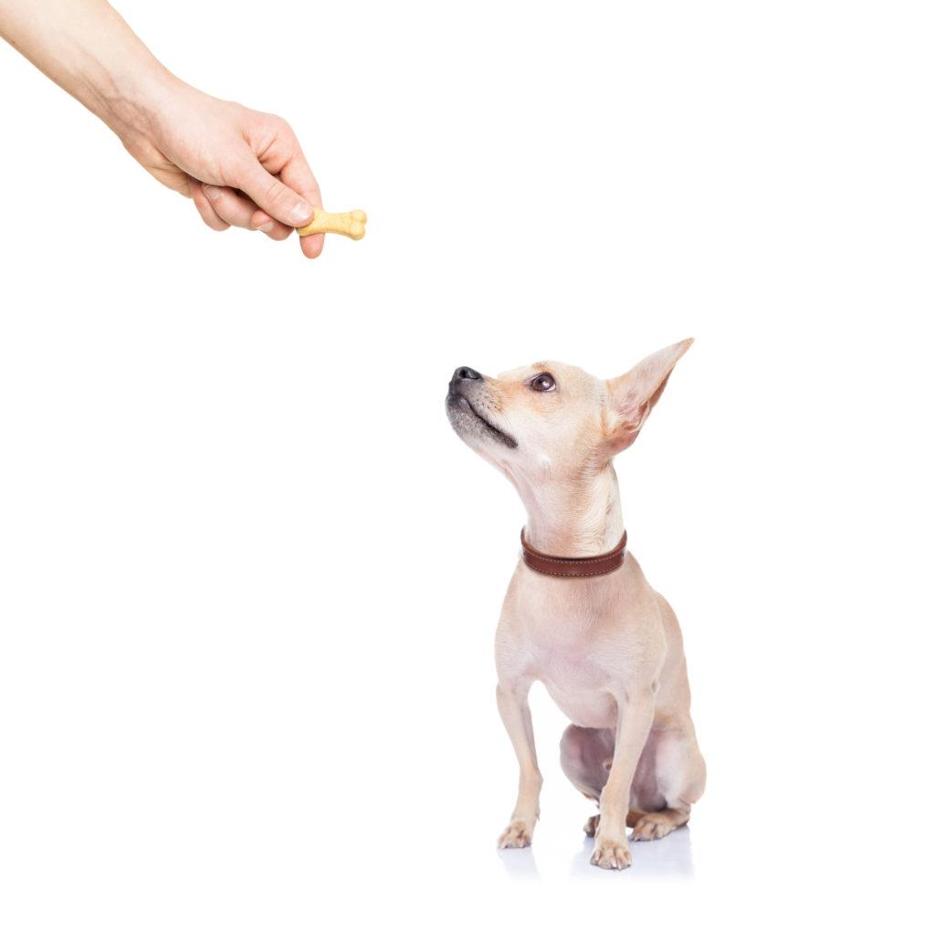 Chihuahua Welpe bekommt Leckerchen damit er schneller stubenrein wird